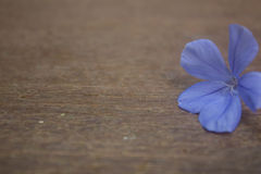 Beautiful Plumbago flower background Stock Photography