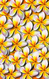 Beautiful plumeria background Stock Photography