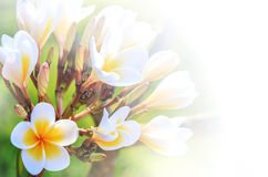 Beautiful plumeria flower  as soft background Stock Photography