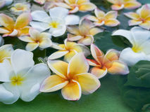 Beautiful Plumeria flower be immersed in water. concept of natur Royalty Free Stock Photos