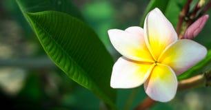 Beautiful plumeria flower. Plumeria flower and blossom in the frangipani tree Royalty Free Stock Image