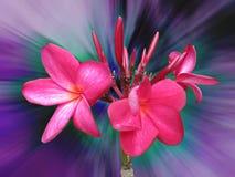 Beautiful plumeria flower. On blur bokeh royalty free stock photo
