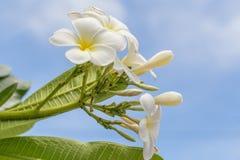 Beautiful Plumeria flower Royalty Free Stock Photography