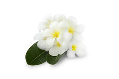 Beautiful Plumeria flower over a green leaves on white background Royalty Free Stock Images