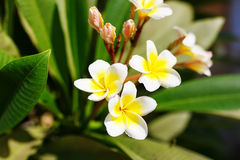 Beautiful plumeria flowers blossom in the frangipani tree. Royalty Free Stock Image