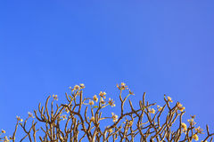 Beautiful Plumeria Flowers. With in blue sky Royalty Free Stock Images