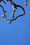 Beautiful Plumeria Flowers. With in blue sky Stock Photography