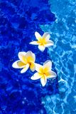 Beautiful Plumeria Flowers in Blue Water Royalty Free Stock Images