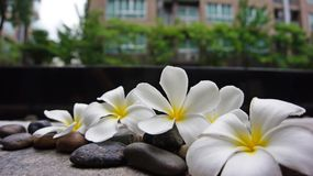 Beautiful Plumeria flowers on the flore with building background. Fresh and colorful photo that can make you feels like your vacation time will coming soon royalty free stock photo