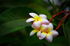 Beautiful plumeria or frangipani flowers royalty free stock images