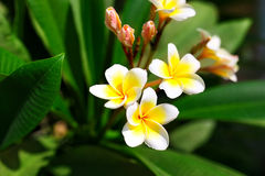 Beautiful Plumeria (frangipani) flowers on tree. Selective focus (shallow depth of field royalty free stock photos