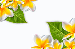 Beautiful plumerias frame Stock Images