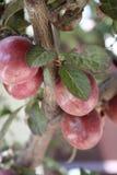Beautiful plums stock photography