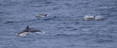 Common Dolphins jumping Royalty Free Stock Images
