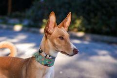 Beautiful podenco dog posing for the photo stock photos