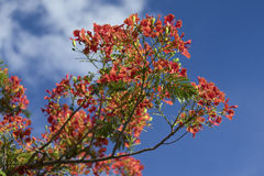 Beautiful poinciana ,peacock flower, Gulmohar flower with blue sky and blured cloud Royalty Free Stock Images