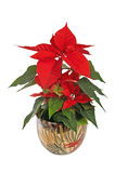 Beautiful poinsettia Royalty Free Stock Images