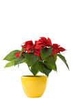 Beautiful Poinsettia - Christmas Star. In yellow flowerpot stock photography