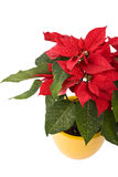 Beautiful Poinsettia - Christmas Star. In yellow flowerpot Stock Images