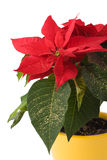 Beautiful Poinsettia - Christmas Star. In yellow flowerpot royalty free stock image
