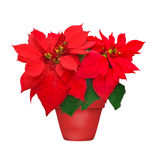 Beautiful poinsettia in flowerpot. Red christmas flower on white background royalty free stock photo