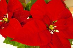Beautiful poinsettia in flowerpot. Red christmas flower on the windowsill. Christmas star. Indoor plant flowers royalty free stock photo