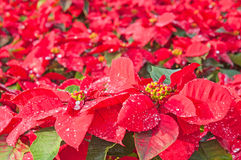 Beautiful poinsettia flowers Royalty Free Stock Images