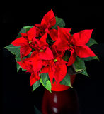 Beautiful poinsettia. red christmas flower Stock Photos