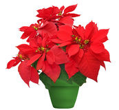 Beautiful poinsettia. Red christmas flower in green flowerpot on white background Stock Images