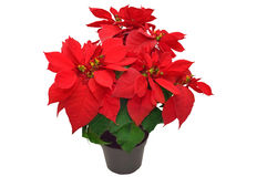 Beautiful poinsettia Stock Photos