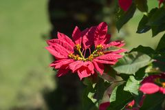Beautiful Poinsettias Euphorbia pulcherrima Plant. And Flower Leaves in the garden India royalty free stock photo