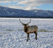 Beautiful 6-point male elk. In a field outside of Donalley, Idaho royalty free stock photo