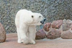Beautiful polar bear near stone wall Stock Photography