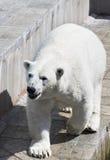 Beautiful polar bear. At the zoo Stock Images