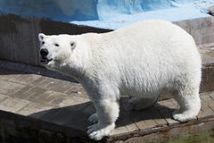 Beautiful polar bear Stock Images