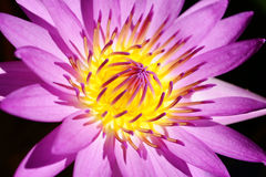Beautiful pollen purple lotus flower blooming in the pond. Stock Photography