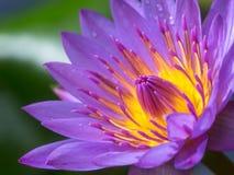 Beautiful pollen purple lotus flower Stock Photos