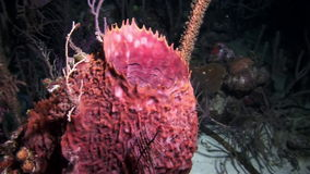 Beautiful polyp on a night dive. Underwater Coral Reef and Tropical Fish in Bahamas. Amazing, beautiful underwater world Bahamas and the life of its stock video footage