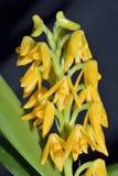 Beautiful Polystachya Orchid Stock Photo