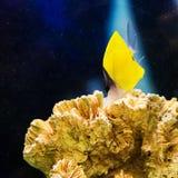 Beautiful pomacentridae saltwater Royalty Free Stock Photos