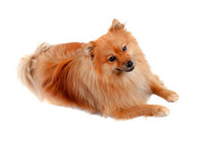 Beautiful Pomeranian dog Stock Photos