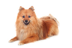 Beautiful Pomeranian dog Royalty Free Stock Photos