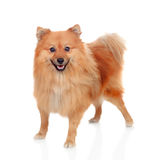 Beautiful Pomeranian dog Stock Images
