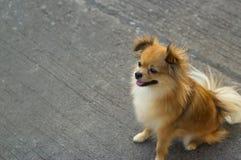 Beautiful pomeranian dog sitting on street Stock Photo