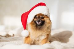 Christmas dog. happy new year card 2018 with the year dog symbol royalty free stock photo
