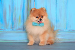 Beautiful pomeranian puppy sits near the wood wall in a blue bow tie. stock photo