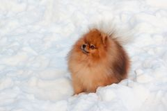Beautiful pomeranian puppy is sitting on a white snow. Pet animals. Winter morning royalty free stock images