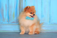 Beautiful pomeranian puppy sitting on wooden floor in a blue bow tie. Royalty Free Stock Photos