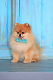Beautiful pomeranian puppy sitting on wooden floor. Royalty Free Stock Photos