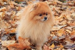Beautiful pomeranian puppy is standing in the autumn foliage. Stock Photos